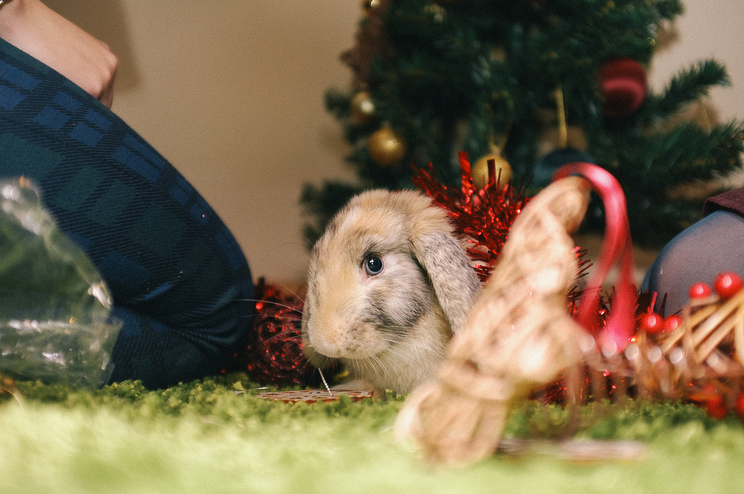 Christmas rabbit, Fuji X100 flash bounced.