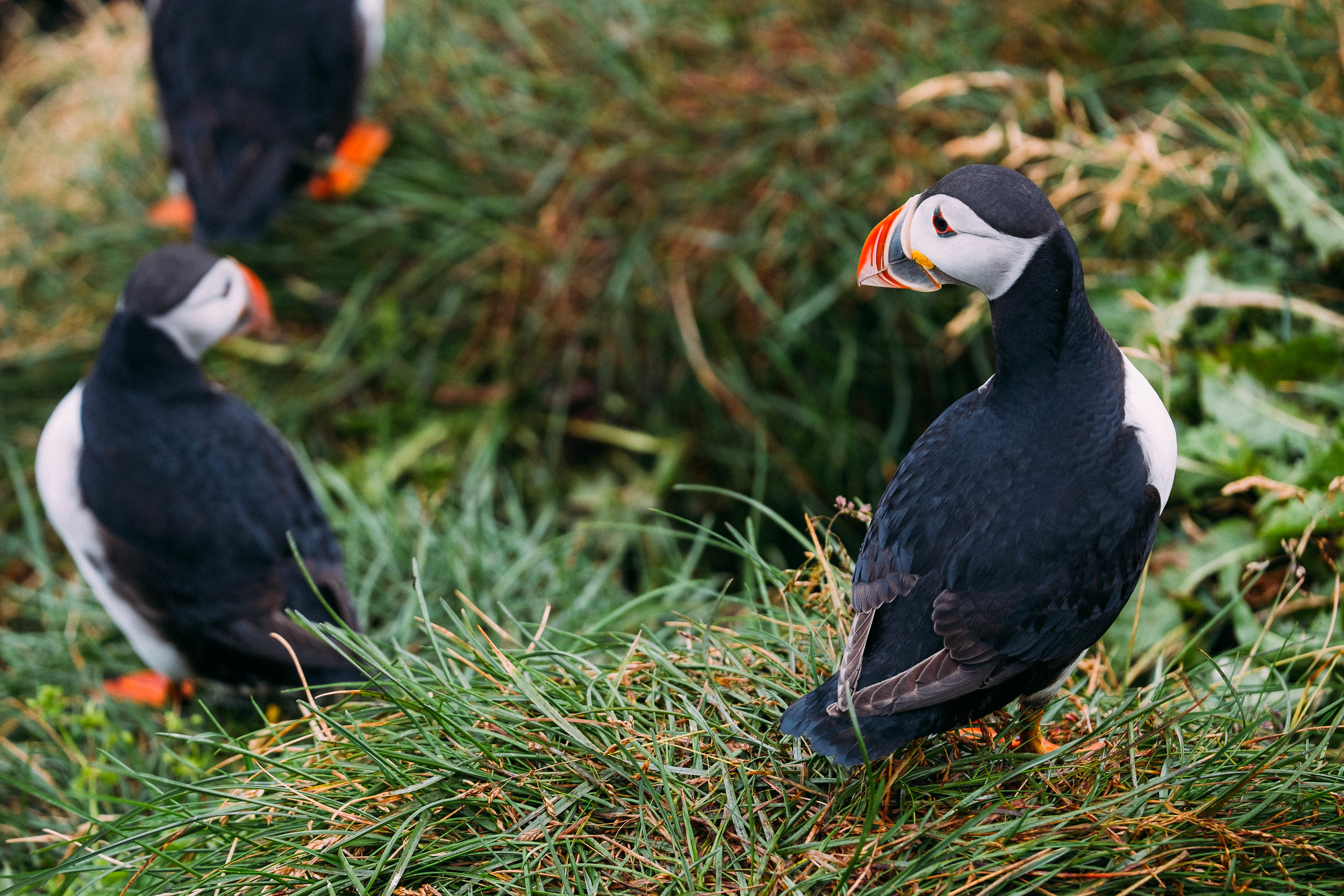 The long reach was ideal for photographing puffins in Iceland