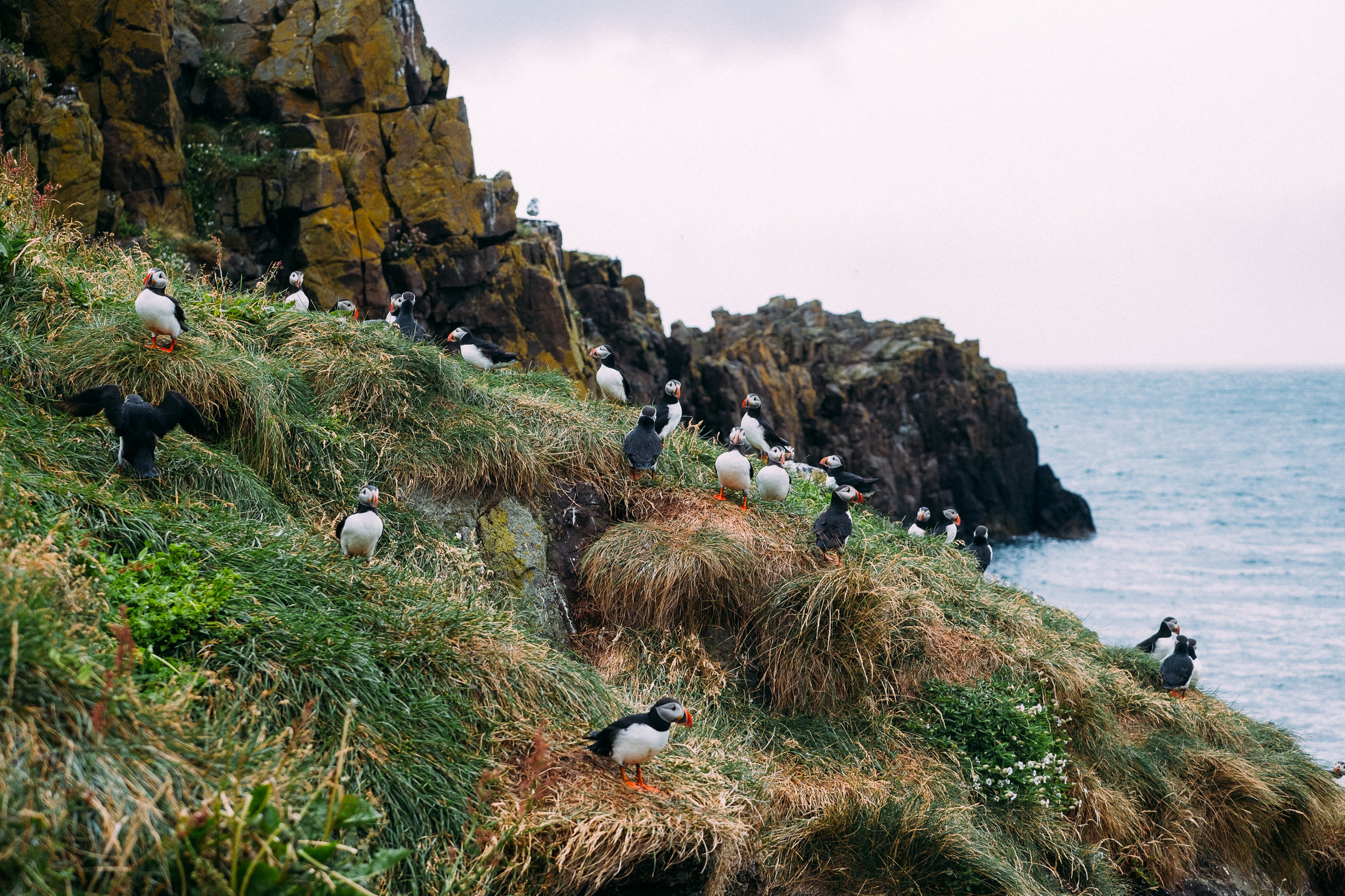 So many puffins.
