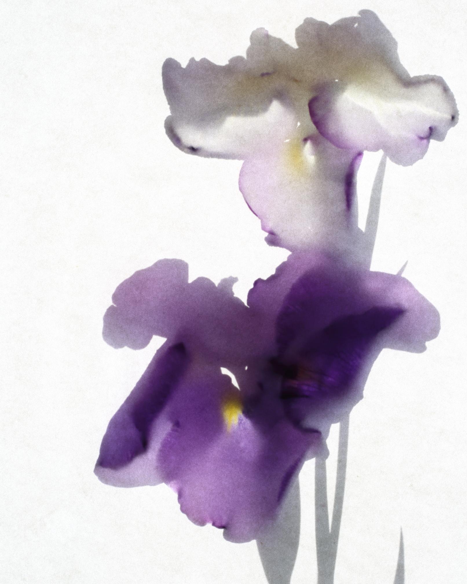 Iris ensata.JPG