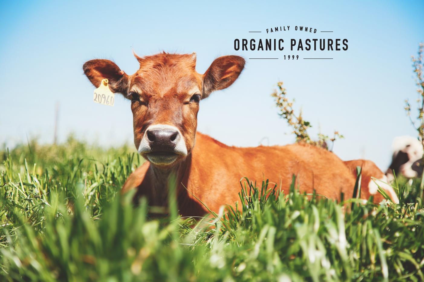 Organic Pastures Grass-Grazing Cow