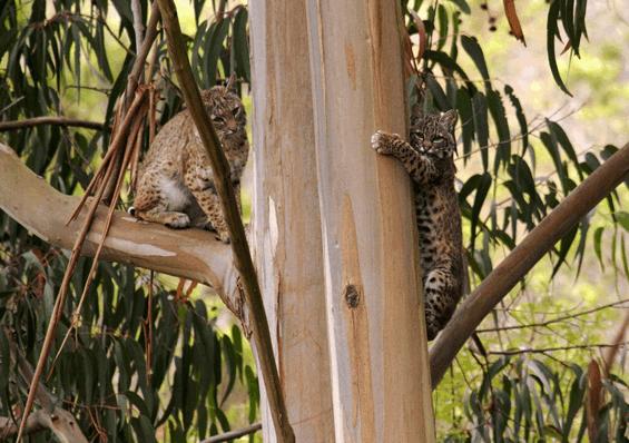 Bobcats in Marin Headlands
