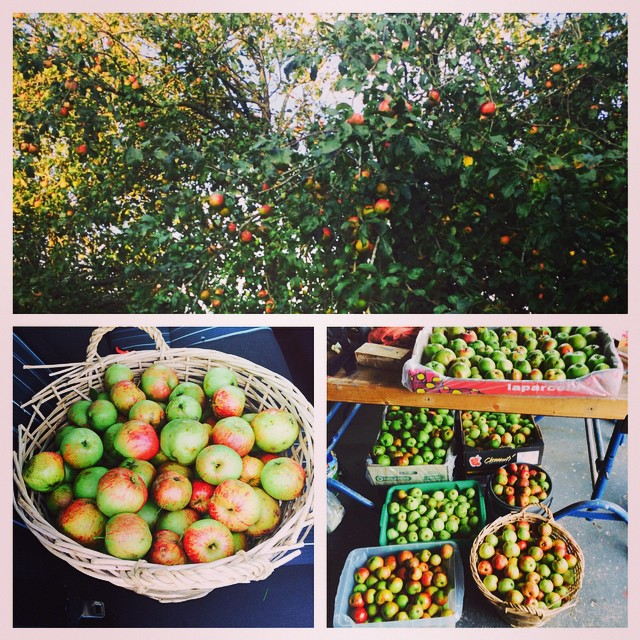 All sorts of apples picked for making cider his year. #craftcider #homebrew #cider