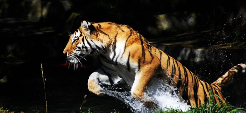 tiger jumping.jpg