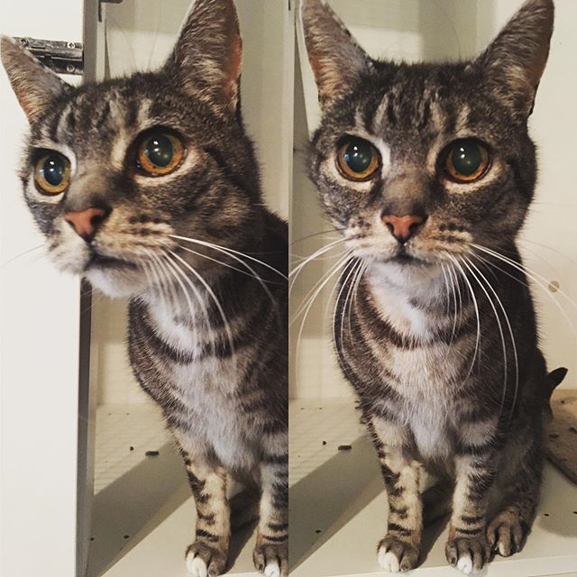 """""""You haz nomz for Oliver?"""" 😍  #adelaidecats #catsofadelaide #adelaide #cats #cattery #catterylife #boarding #catboarding"""
