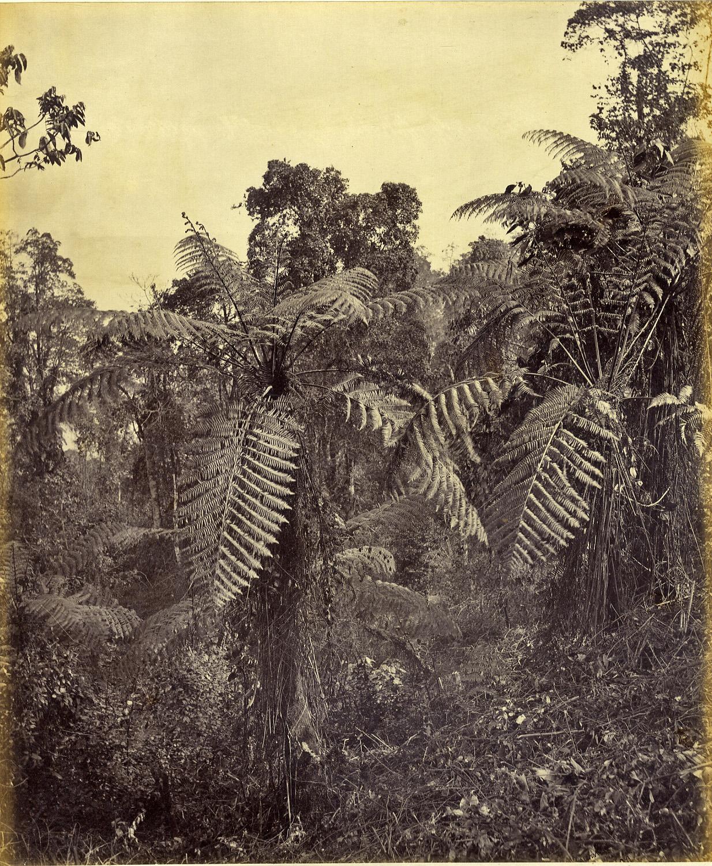 Samuel Bourne  Fern Trees, Himalayas