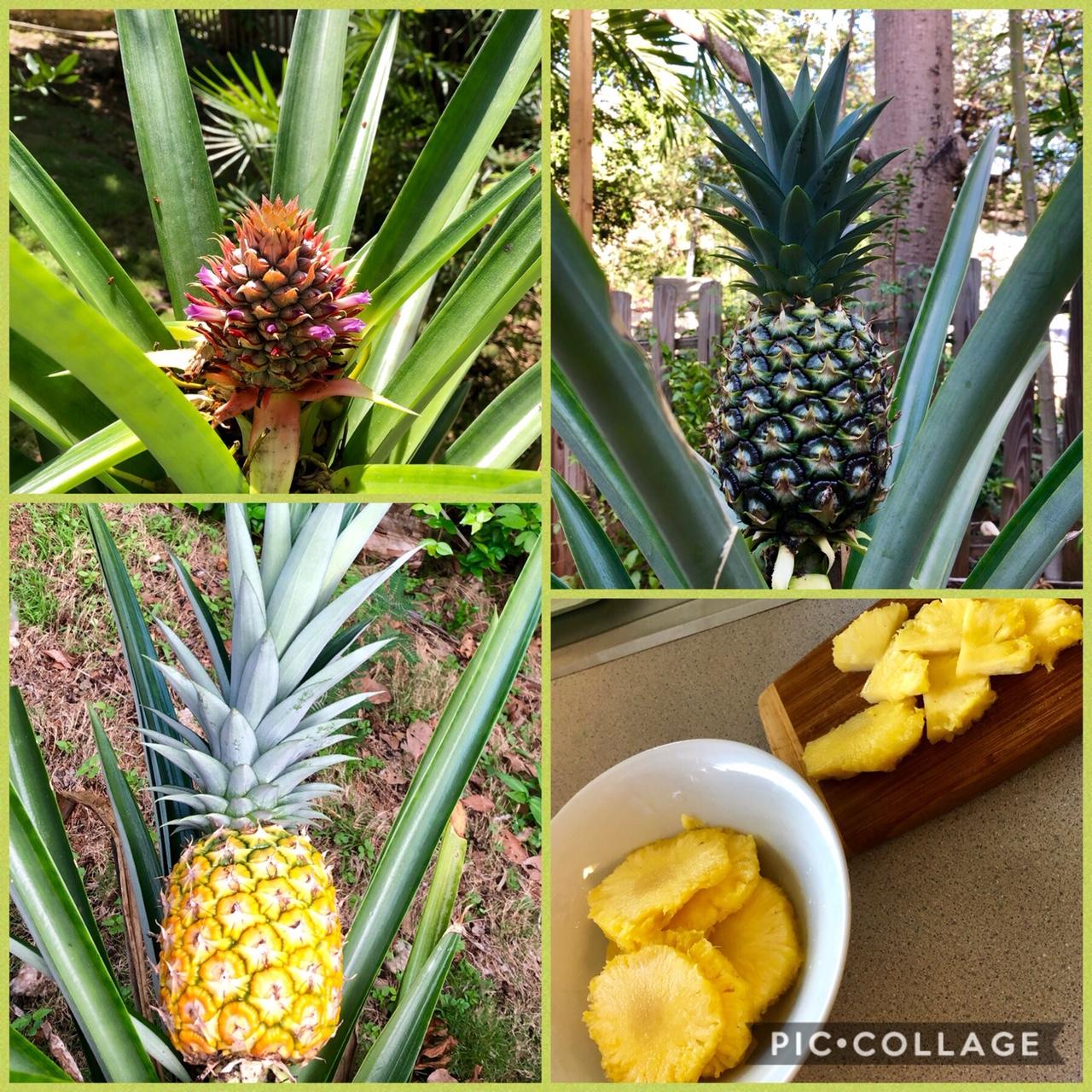Boyle - Pineapply 2018-2019.JPG