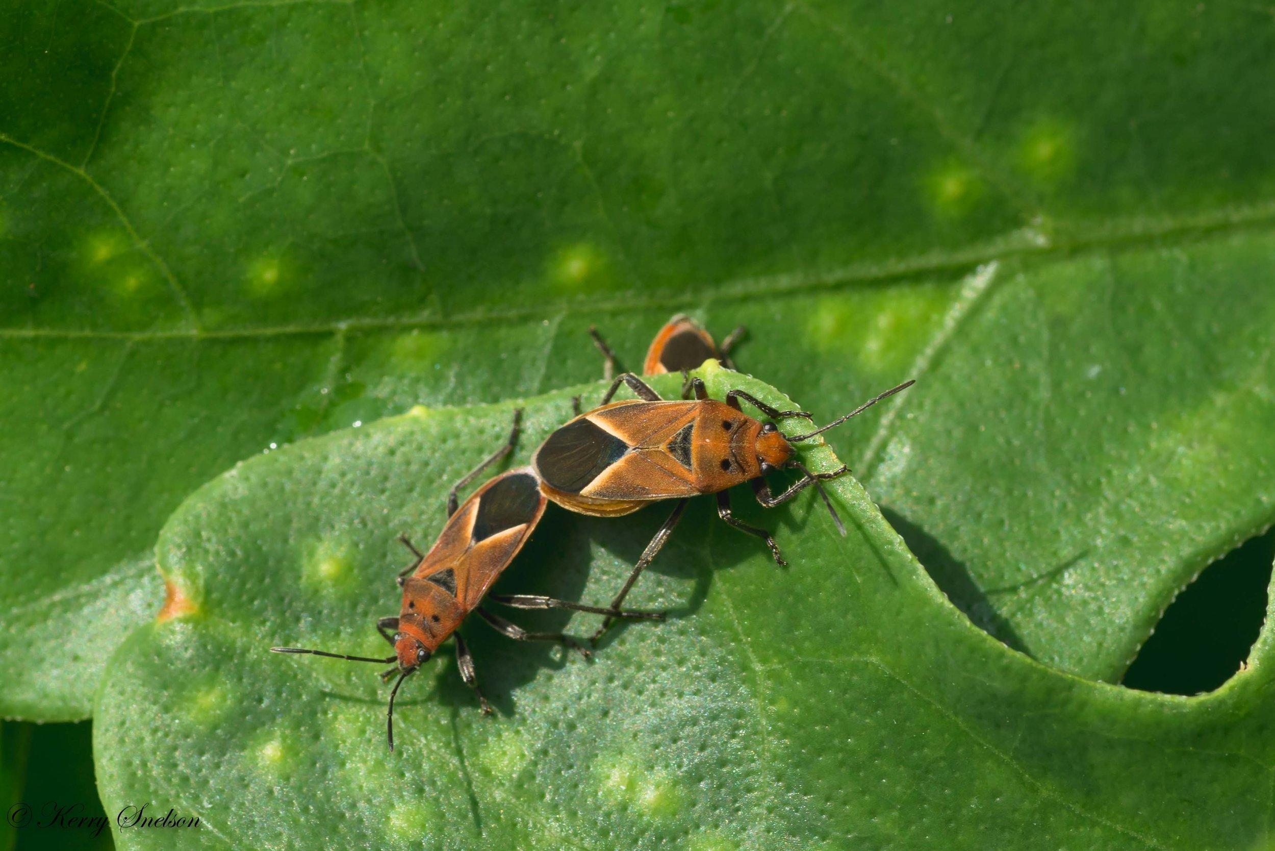 Mating Milkweed Bugs