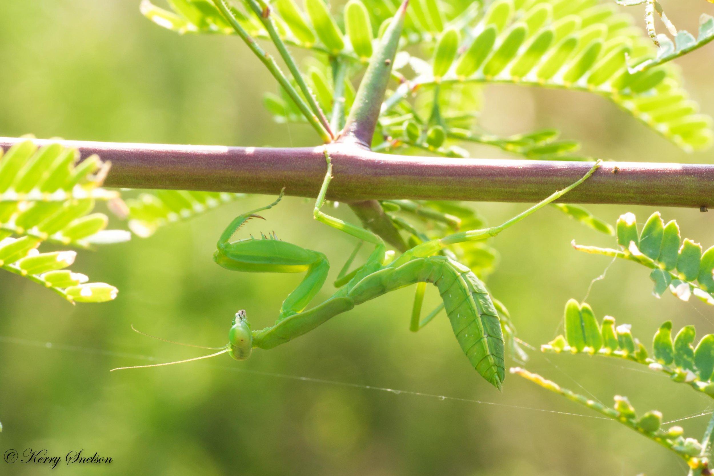 Praying Mantis Hanging from a Branch