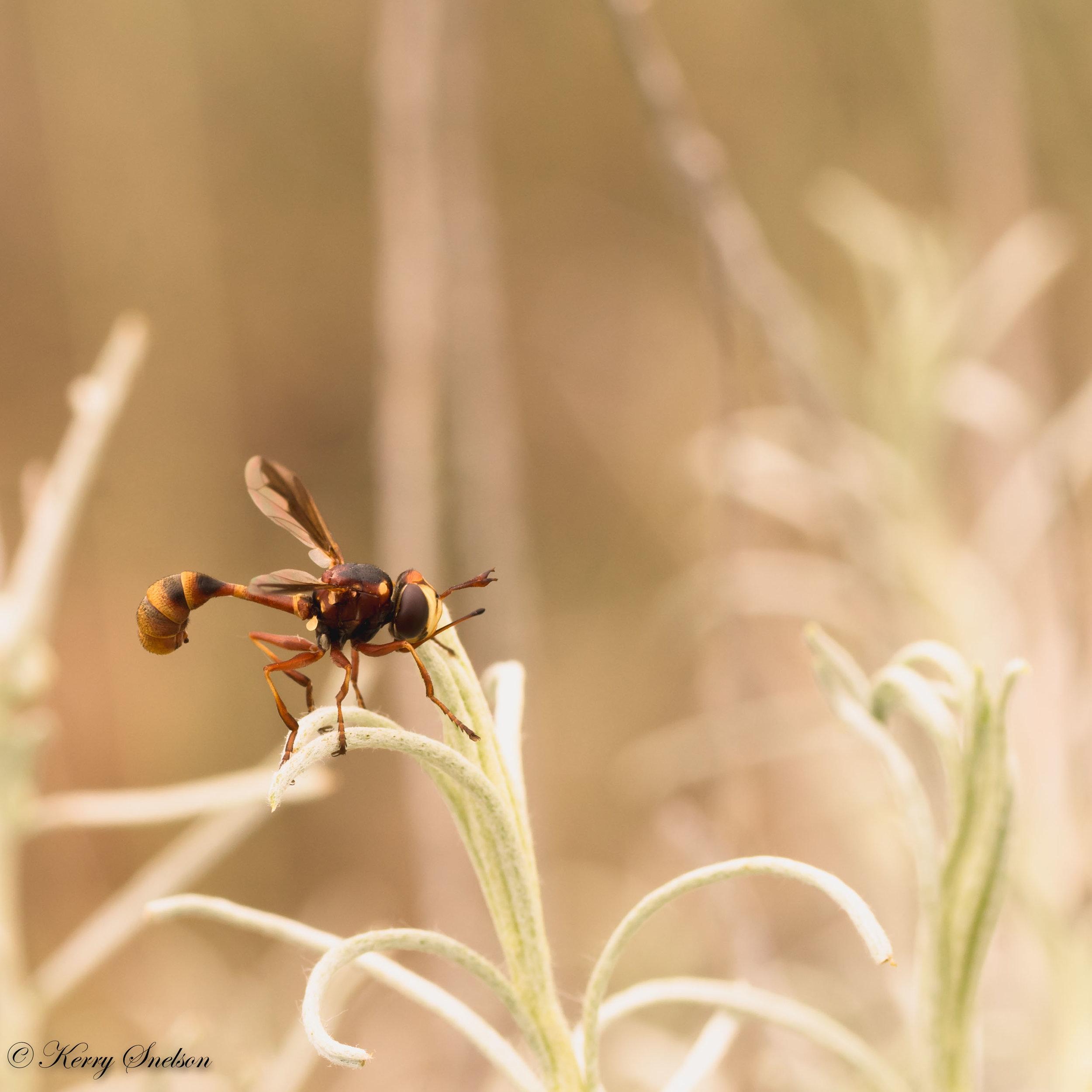 Thick-headed Fly Macro