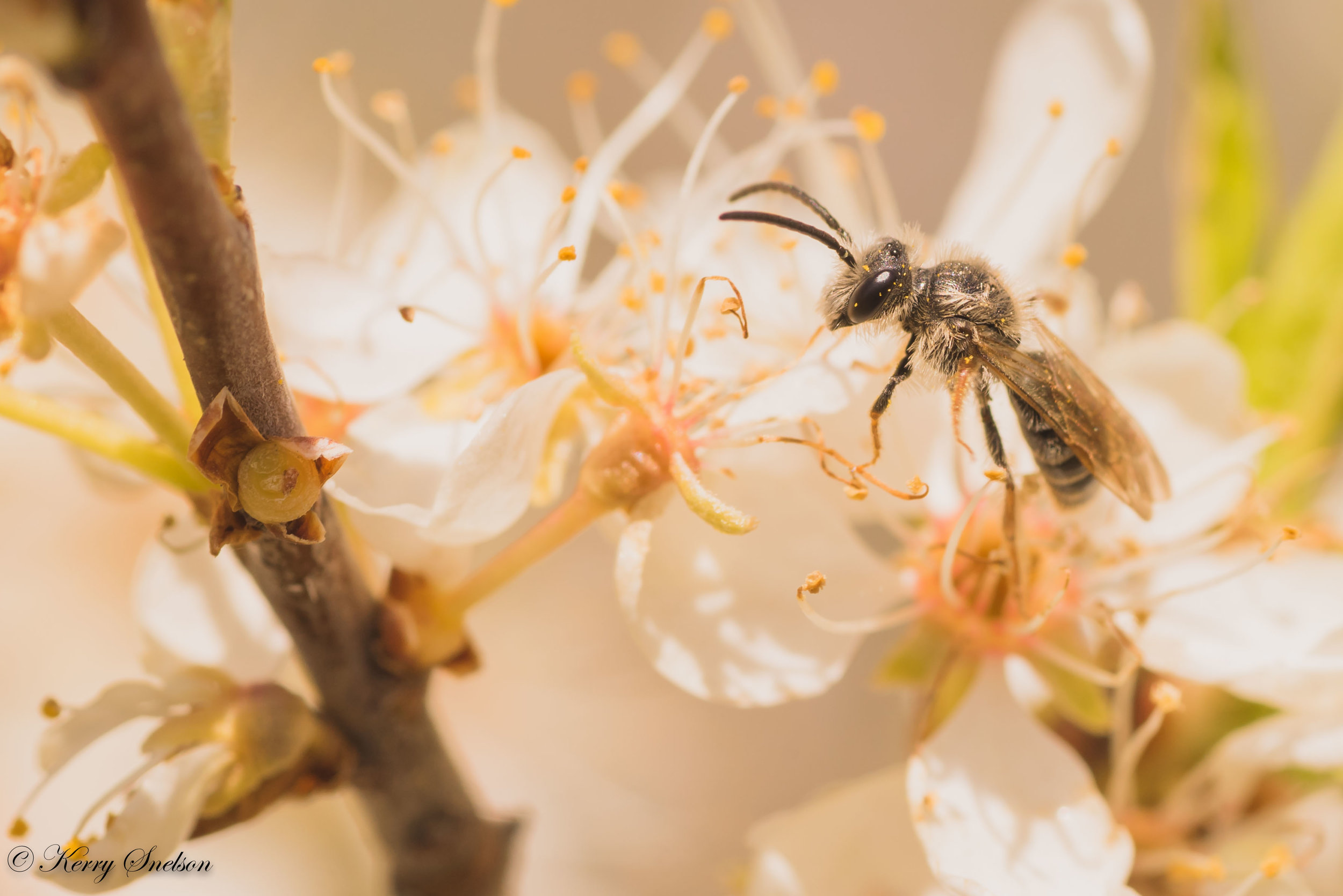 Grey Bee on Blossoms