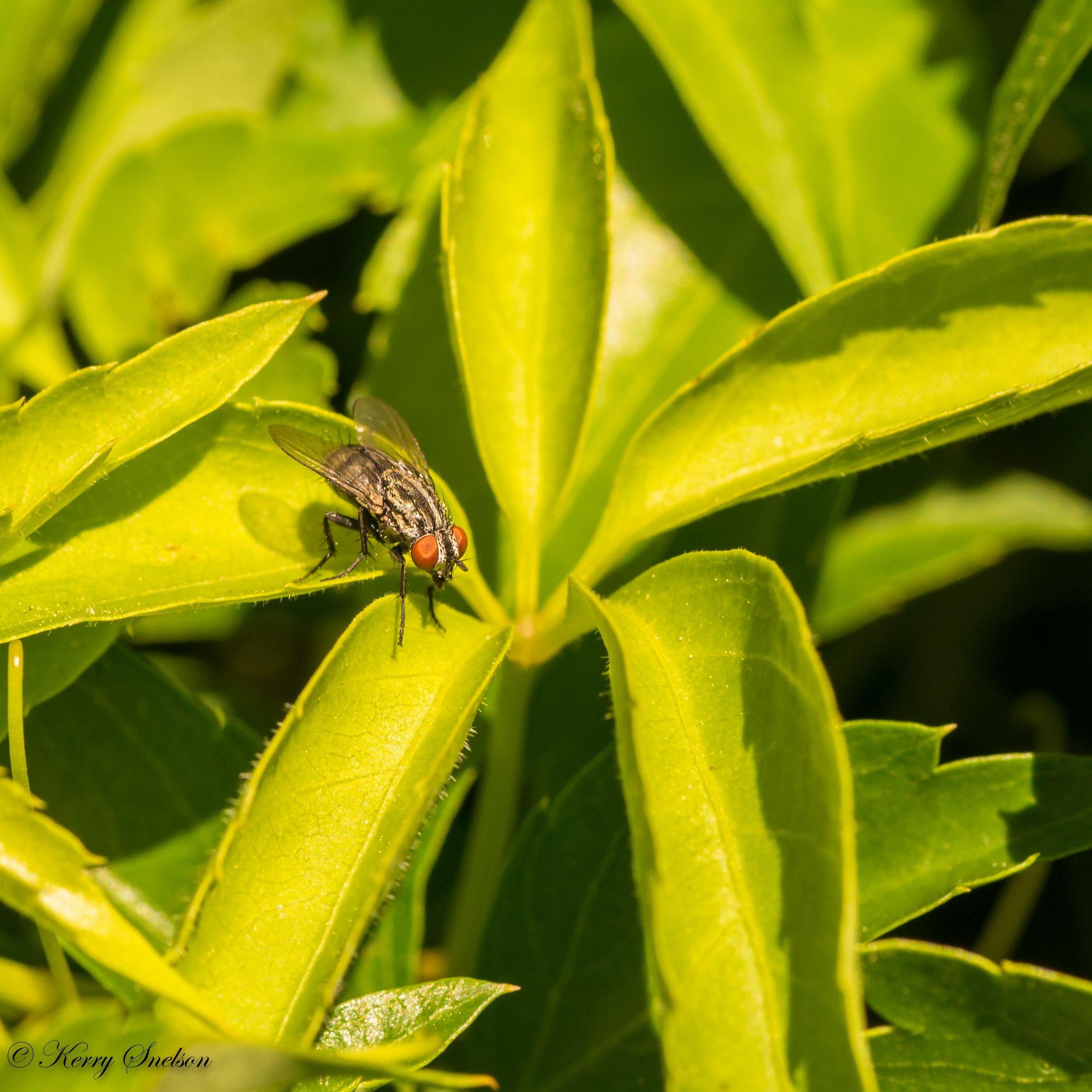 Resting Flesh Fly