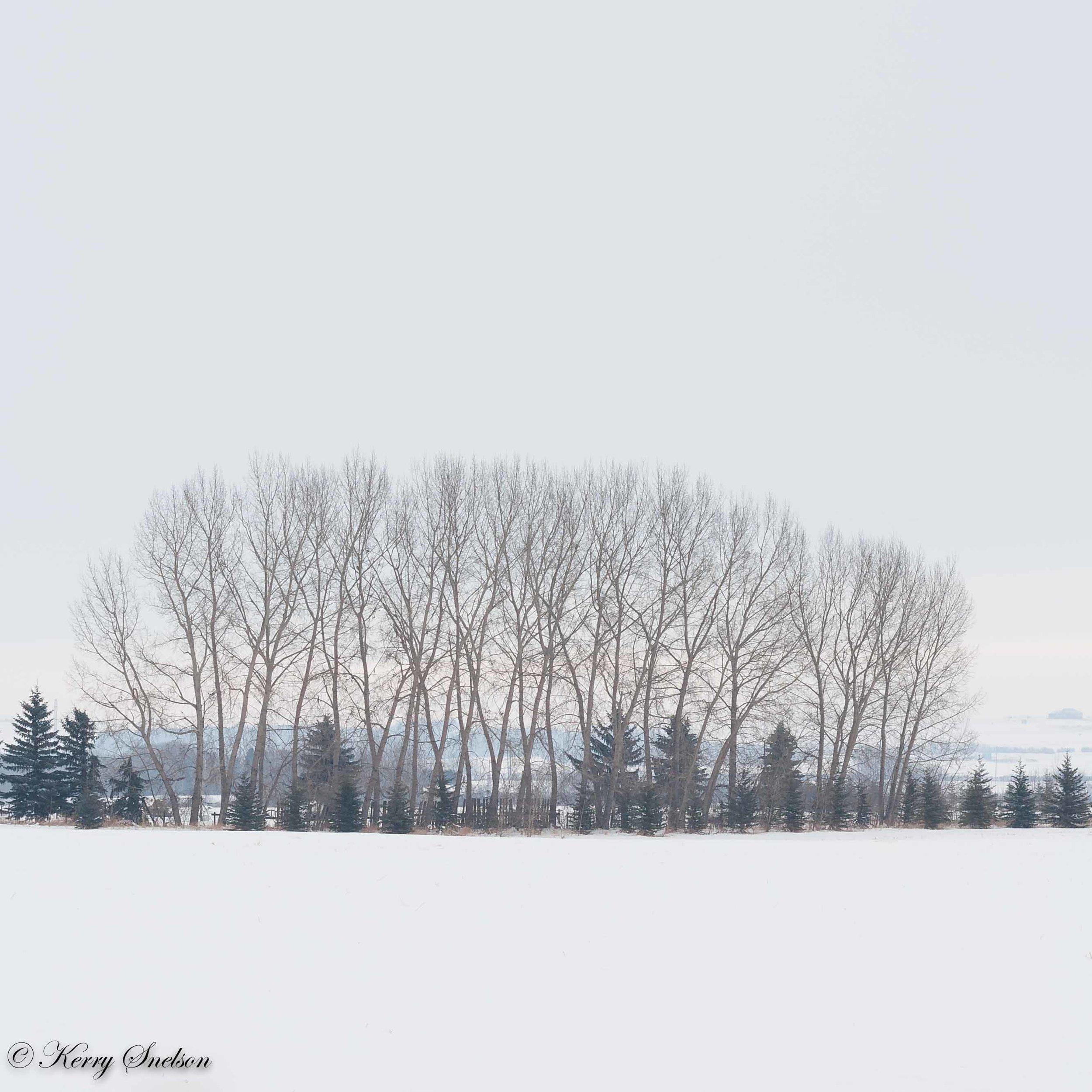Winter Tree Grove