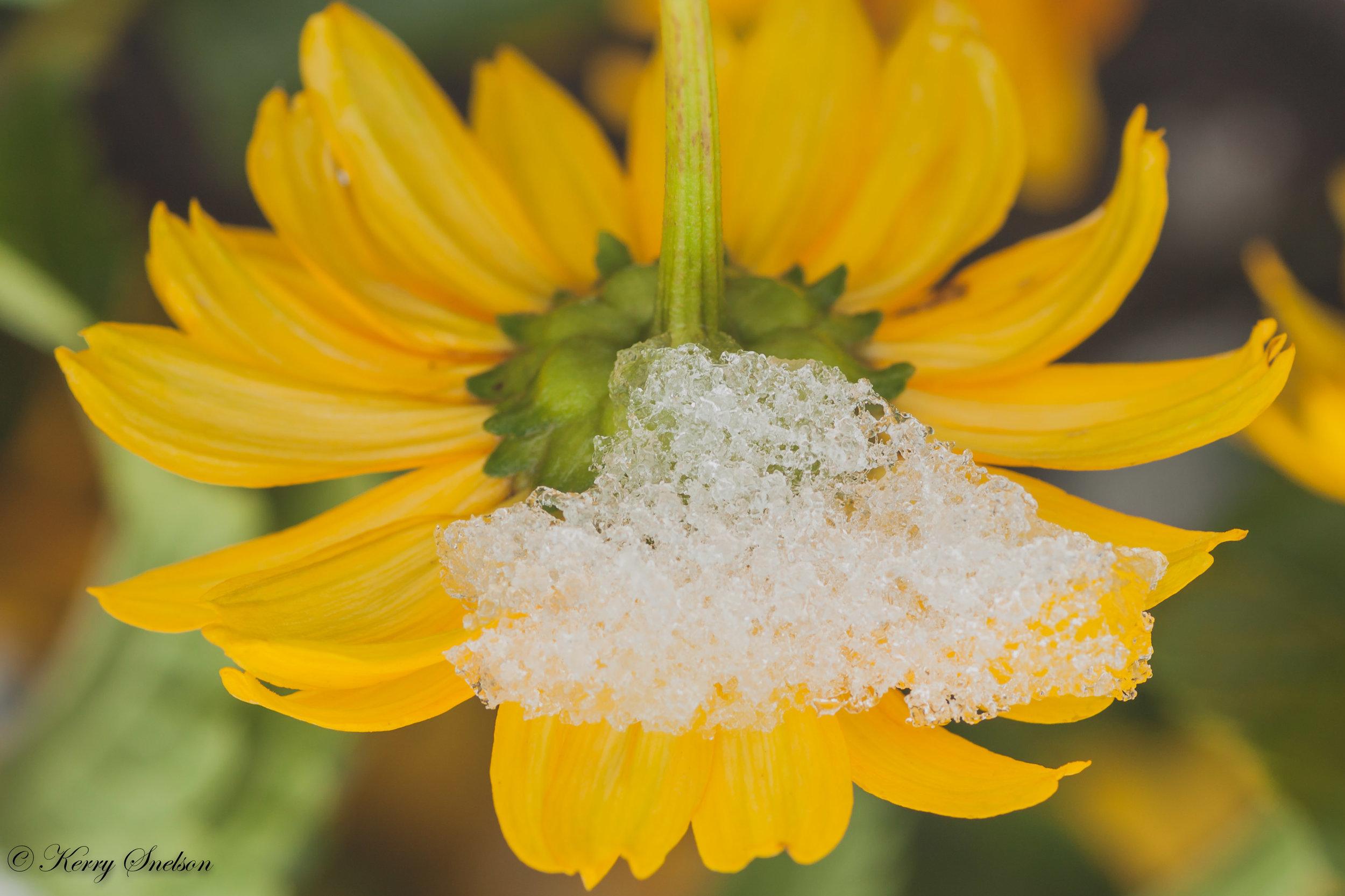 Snow on Chrysanthemum