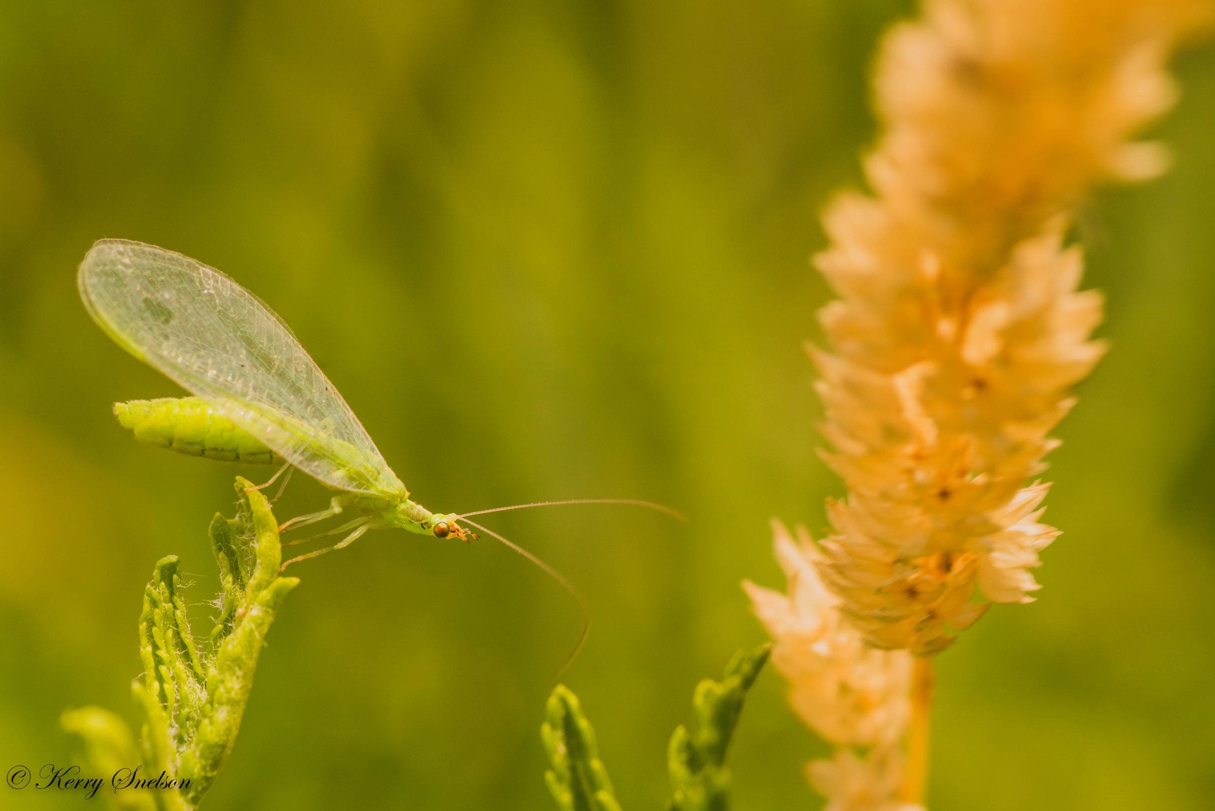 Lacewing Bug Macro