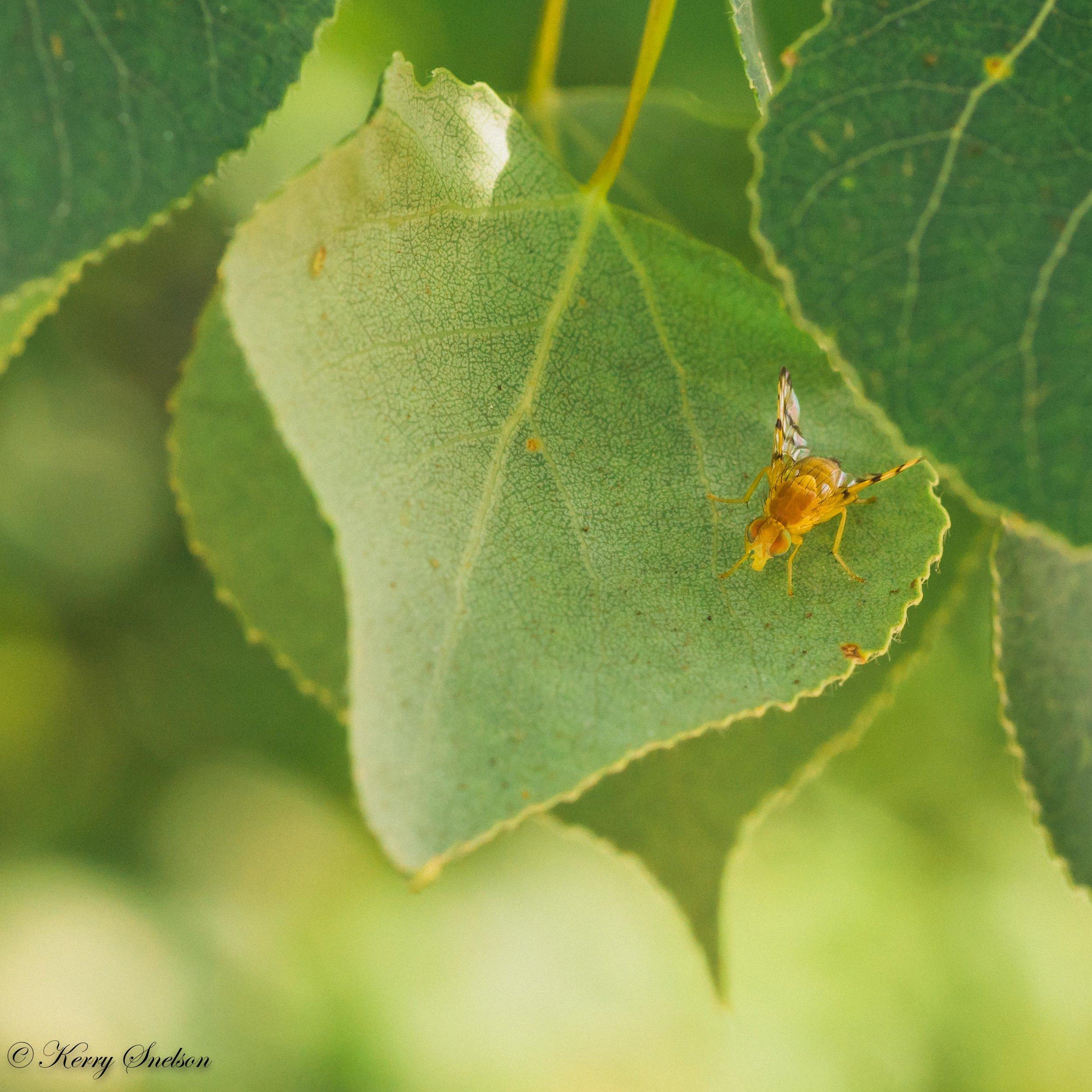 Rose Hip Fly on Leaf