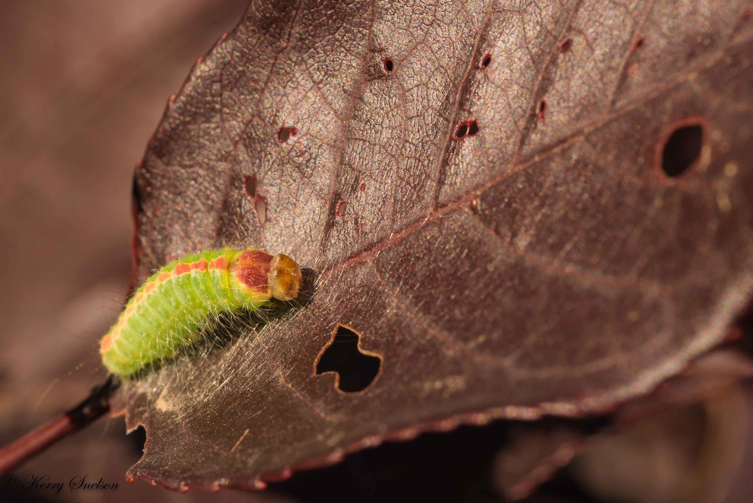 Macro of Dagger Moth Caterpillar