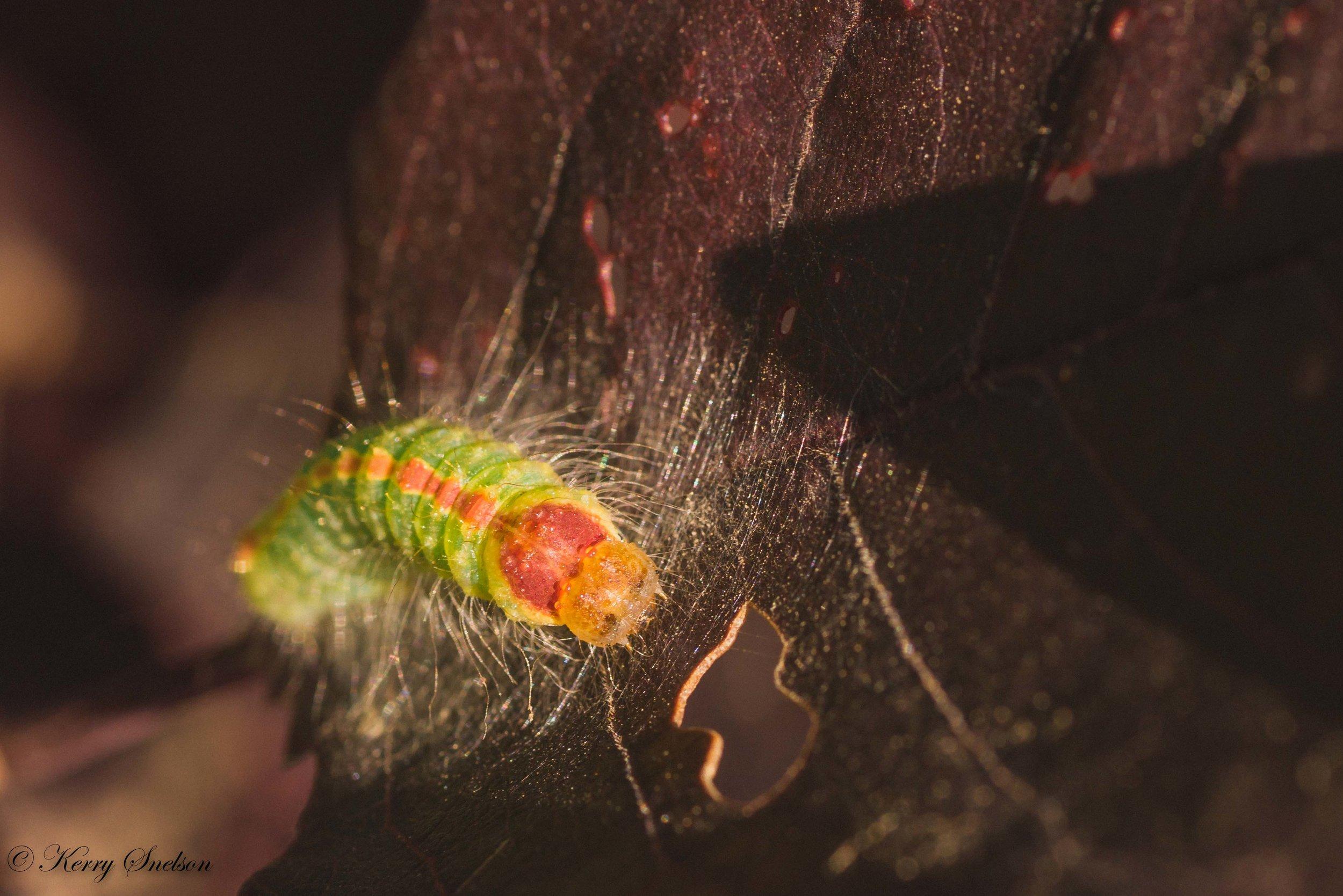 Front view of Dagger moth caterpillar.