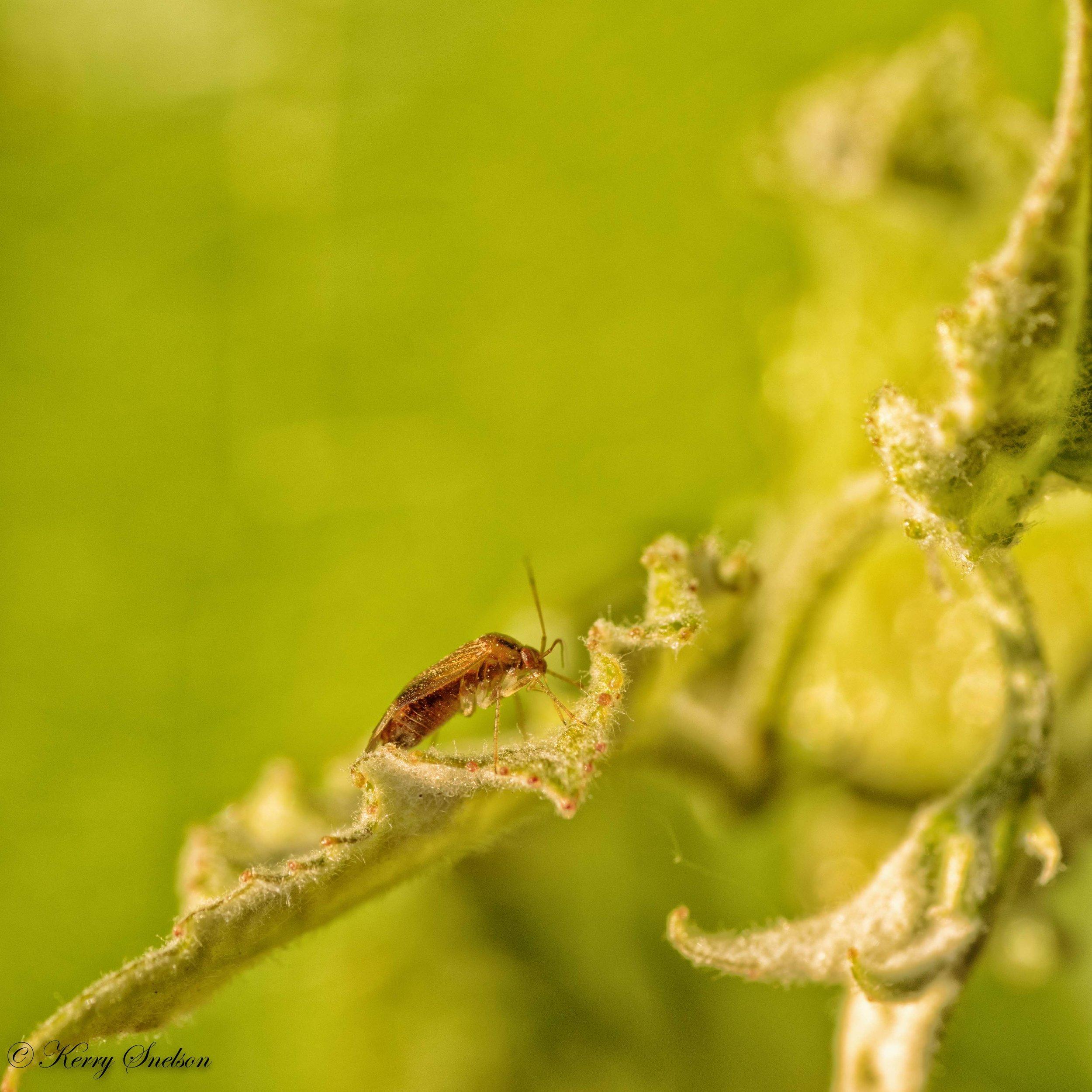 Lyngus Bug on a Leaf