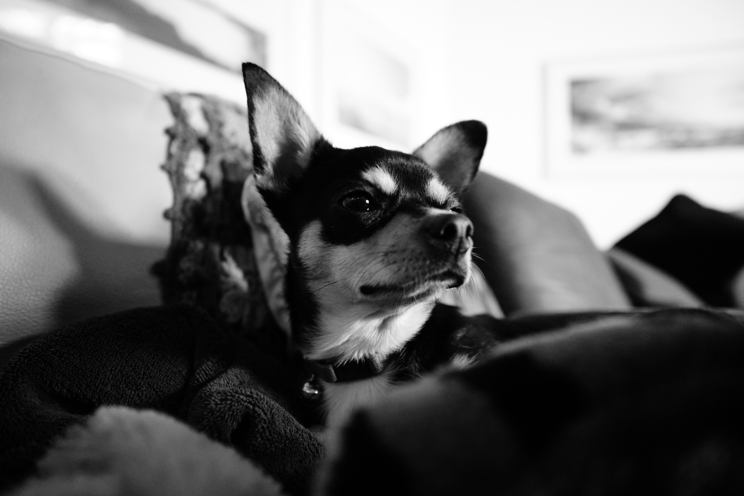 Pico is hanging in New Mexico for the summer with my parents and their little chi Lily.