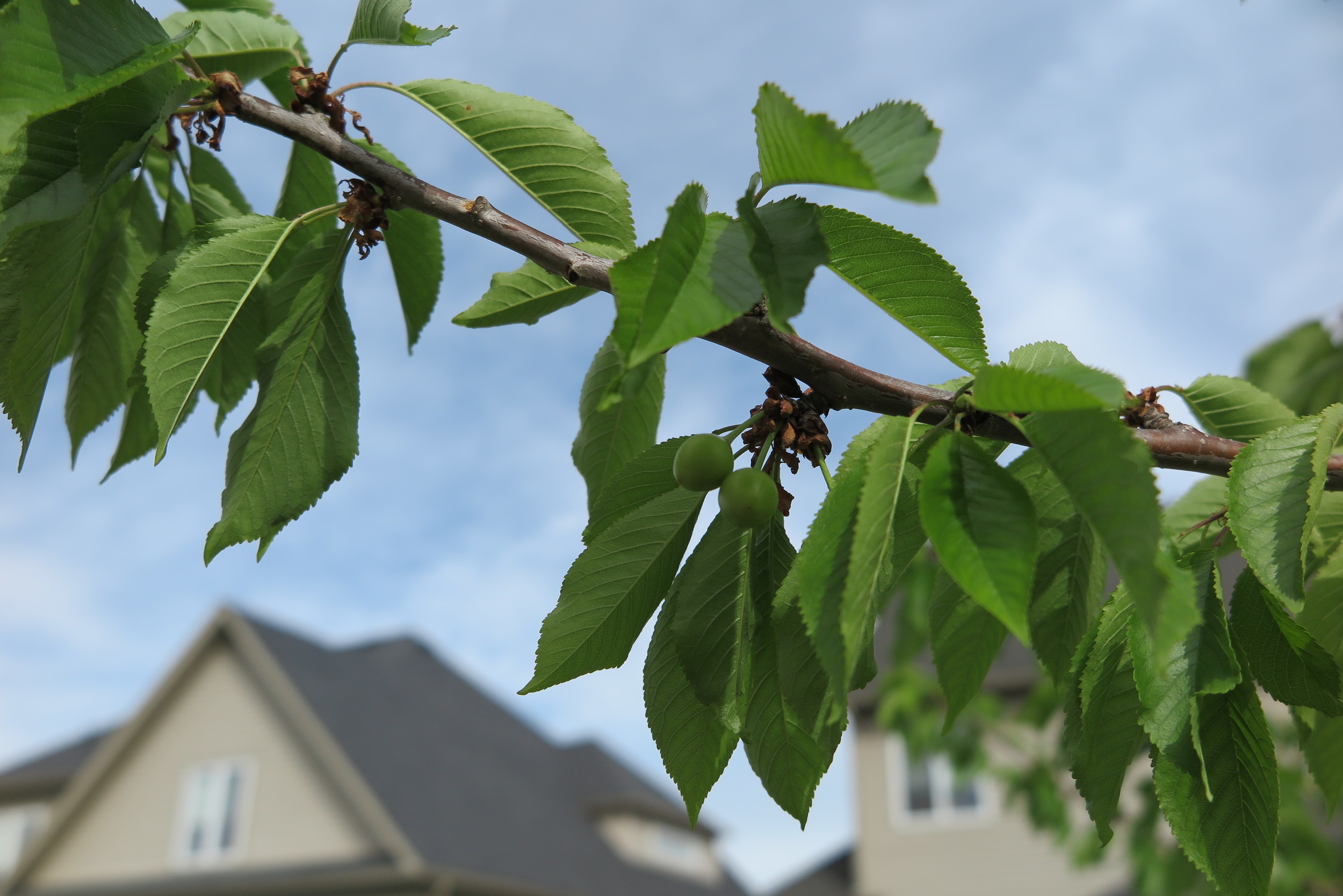 Cherries are starting to grow