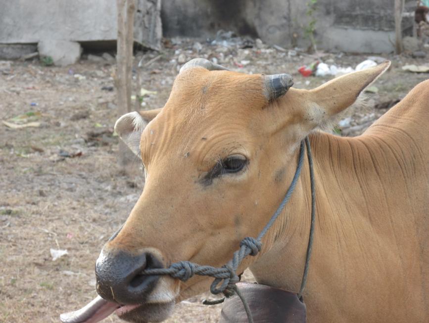COWS-BALI-MINDSEYE.png