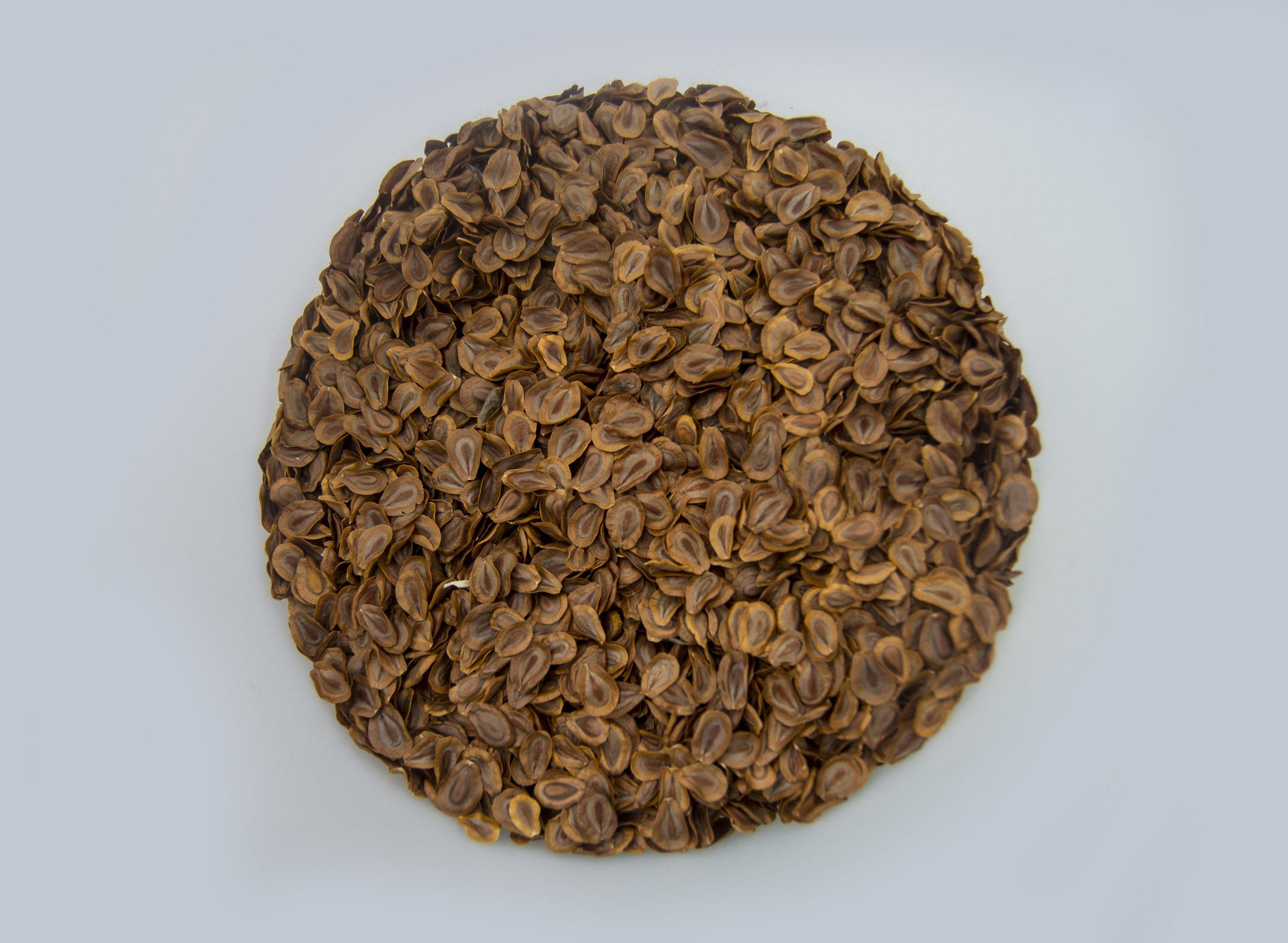 Milkweed seed for seed bombs