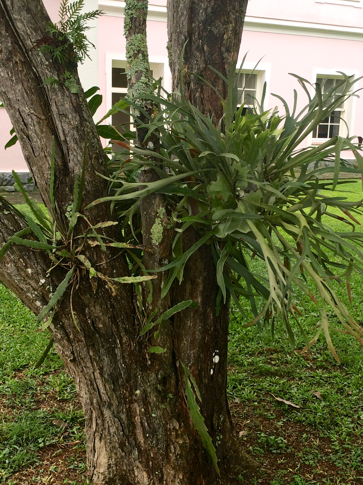 Hotel das Cataratas, Foz do Iguacu, Brazil: tree trunk adorned with a large Staghorn Fern, various other ferns, epiphyllum and lichens