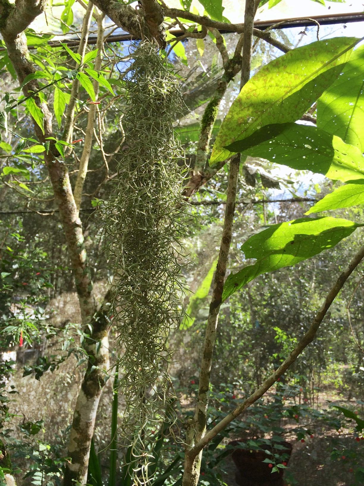 Bird Sanctuary, Foz do Iguacu, Brazil: Spanish Moss (Tilandsia usneoides) dripping gracefully from a branch