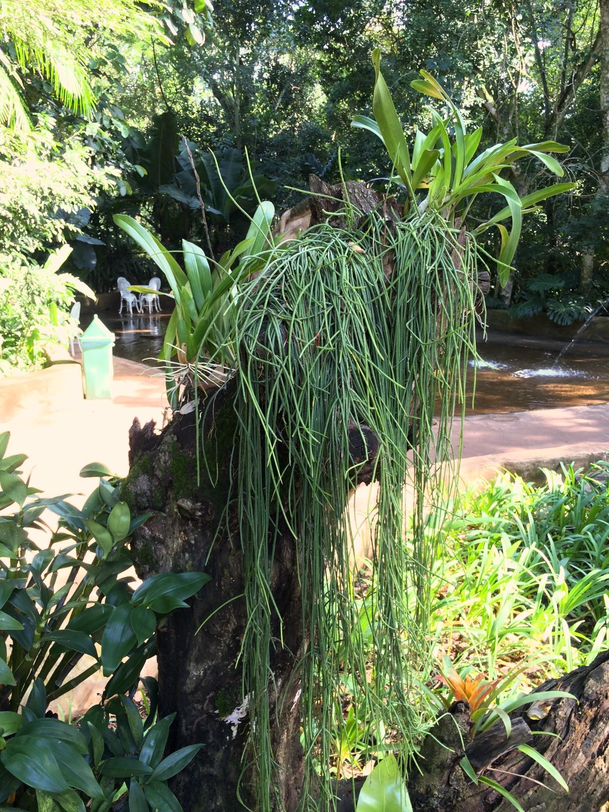 Bird Sanctuary, Foz do Iguacu, Brazil: Orchids and Rhipsalis (a succulent type of epiphyte), draped on a stump