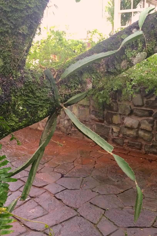 Hotel das Cataratas, Foz do Iguacu, Brazil: some type of cactus epiphyte wrapping itself around a tree branch, snakelike