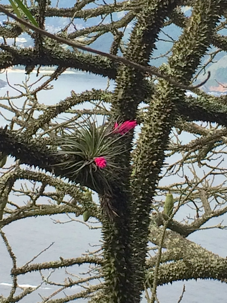 Rio de Janeiro, Brazil: a Chorisia speciosa or Silk Floss Tree (with its magnificent thorns) playing host to a tilandsia in bloom