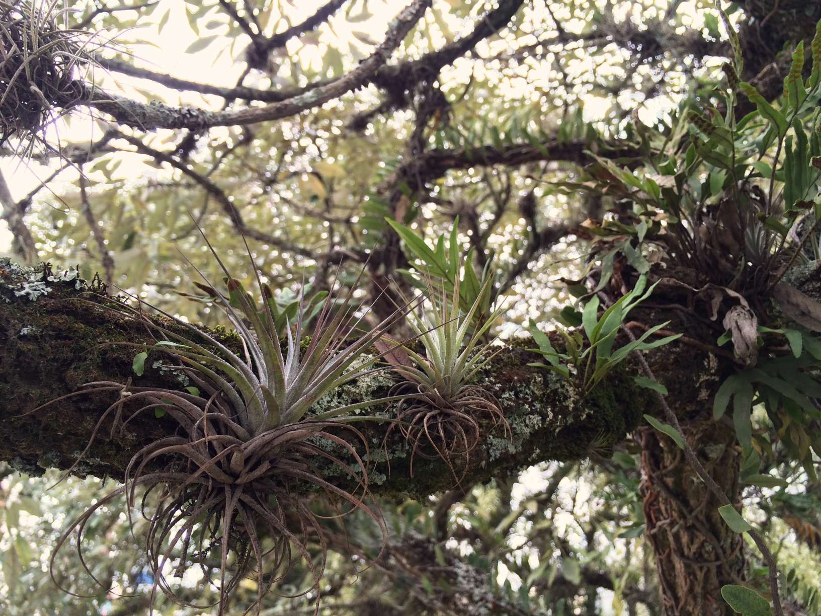 Street Tree, Curitiba, Brazil: tilandsias, ferns and lichens cohabitating peacefully on a tree branch; we have these same types of tilandsias at Acorn.