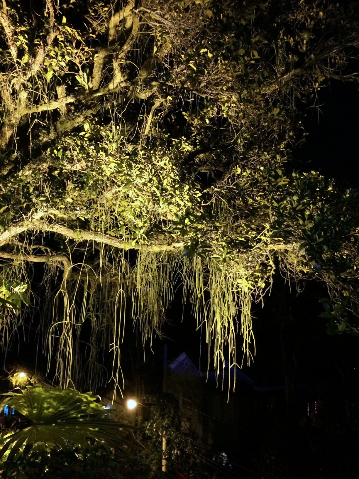 Rio de Janeiro, Brazil: the drama of an uplit tree at night when covered with festive Rhipsalis streamers