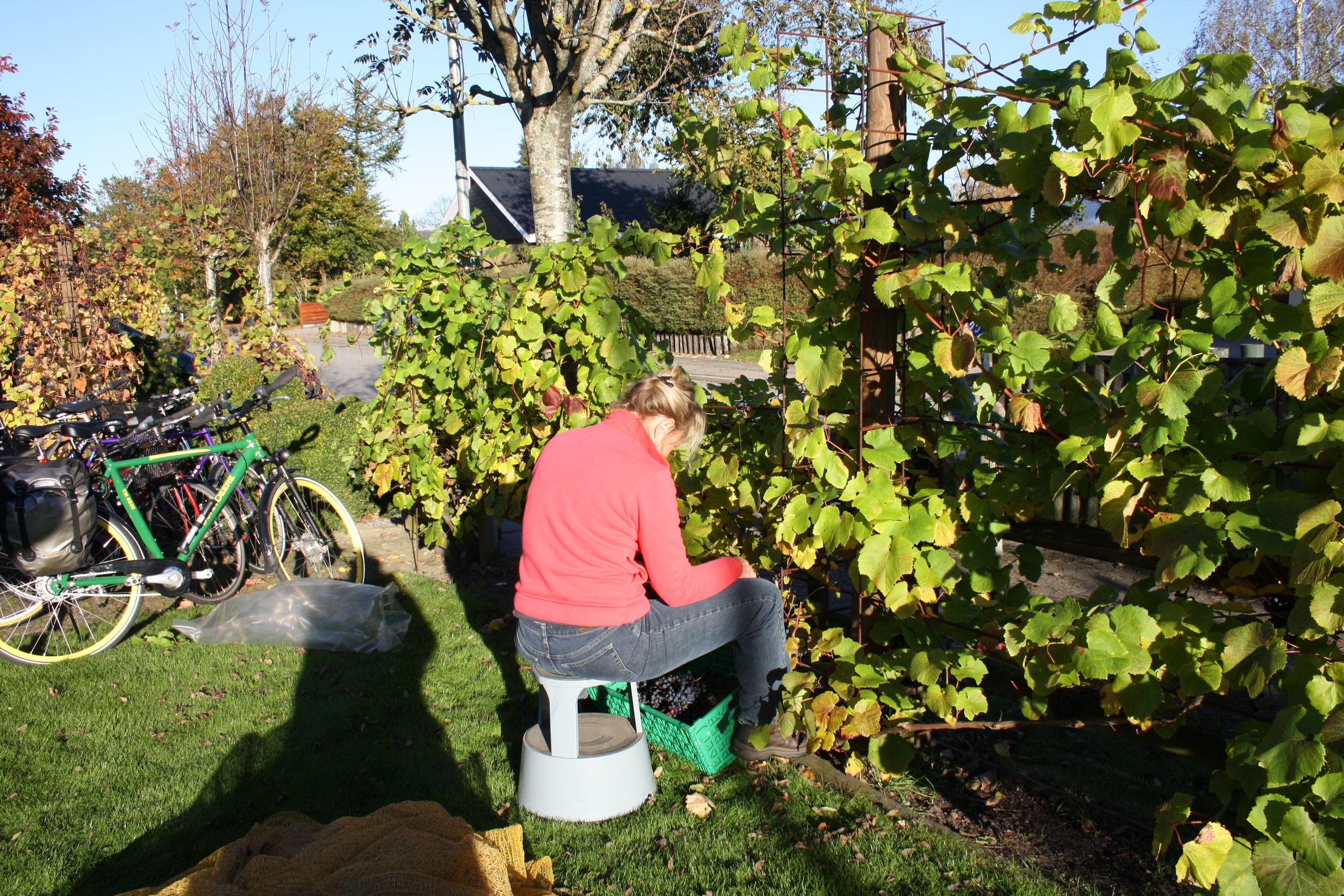 vinhøst ivan 2010 040.JPG