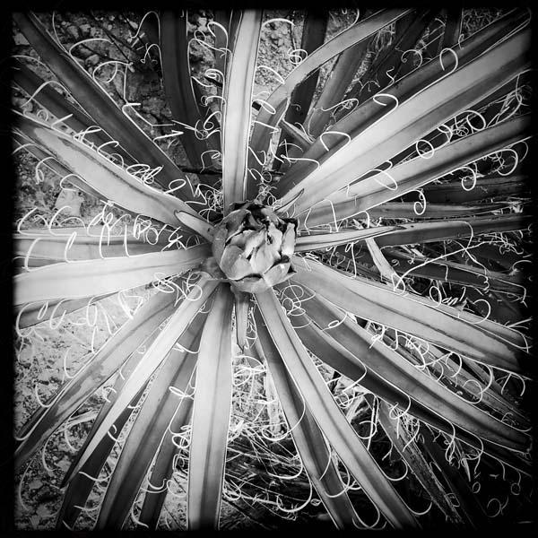 Taos agave.jpg