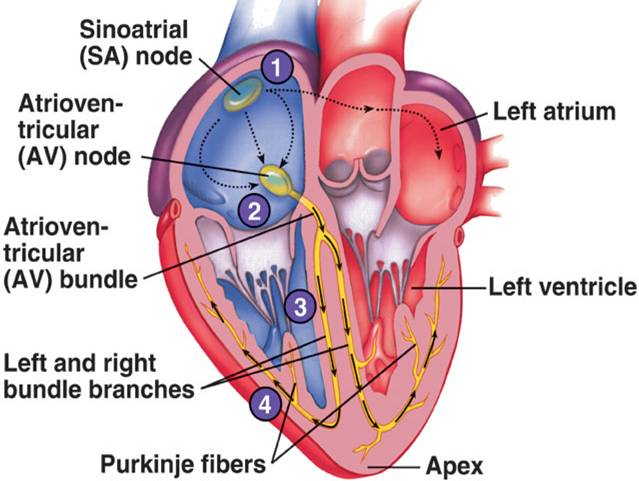 Electrical impulses through the heart.