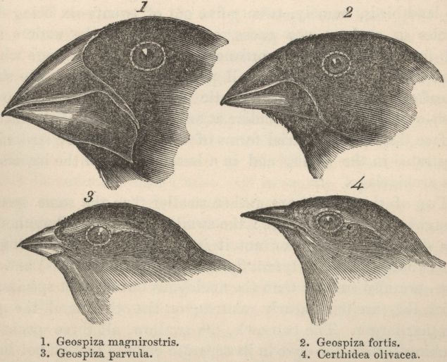 Pinsons des Galapagos, dans le   Journal of  researches into the natural history and geology of the countries visited  during the voyage of H.M.S. Beagle round the world, under the Command  of Capt. Fitz Roy    de Darwin, 1845