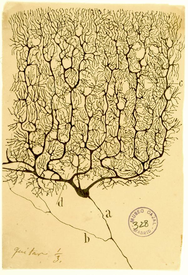 Dessin d'un neurone Purkinje et de ses milliers de synapses dans le cortex cerebelleux d'un pigeon. 1899. Museo Cajal. Madrid.
