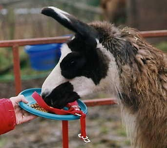 Did you know Llamas eat from Frisbees?