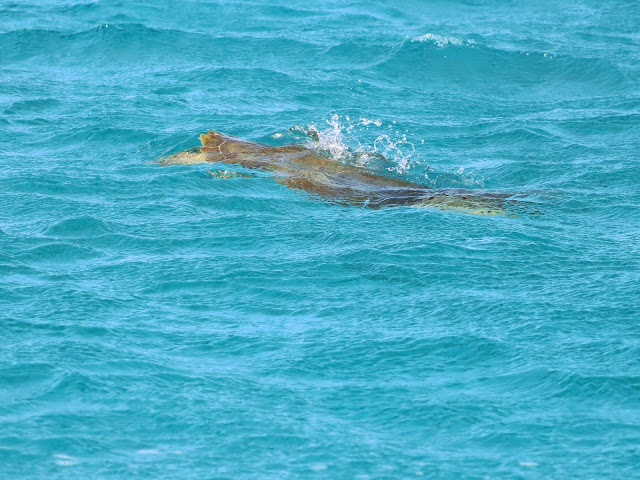 TURTLE SPOTTING IN TOBAGO CAYS