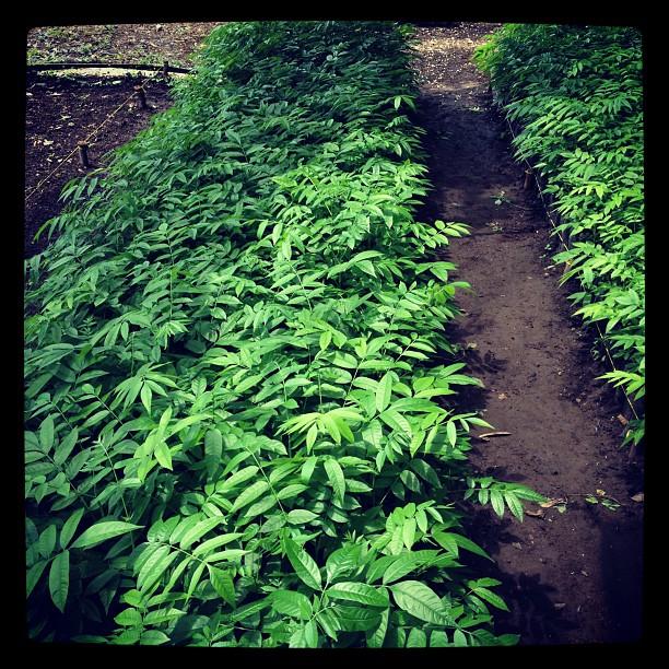 Spanish Cedar seedlings
