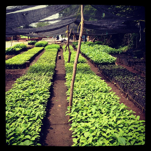 Teak seedlings at our nursery at La Gavilina