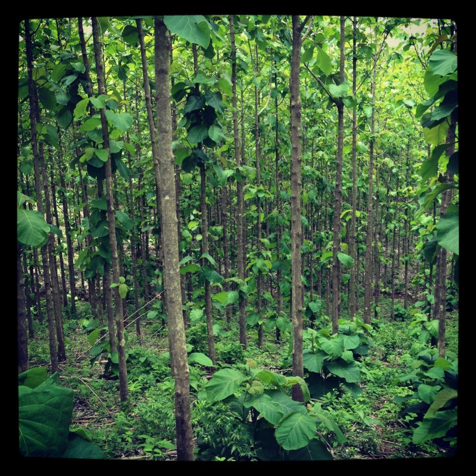 Young Teak forest at Finca La Fortuna