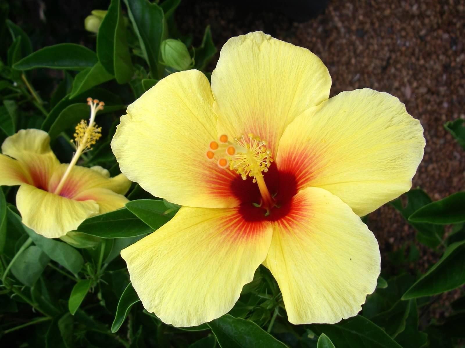 2008 Hibiscus.jpg