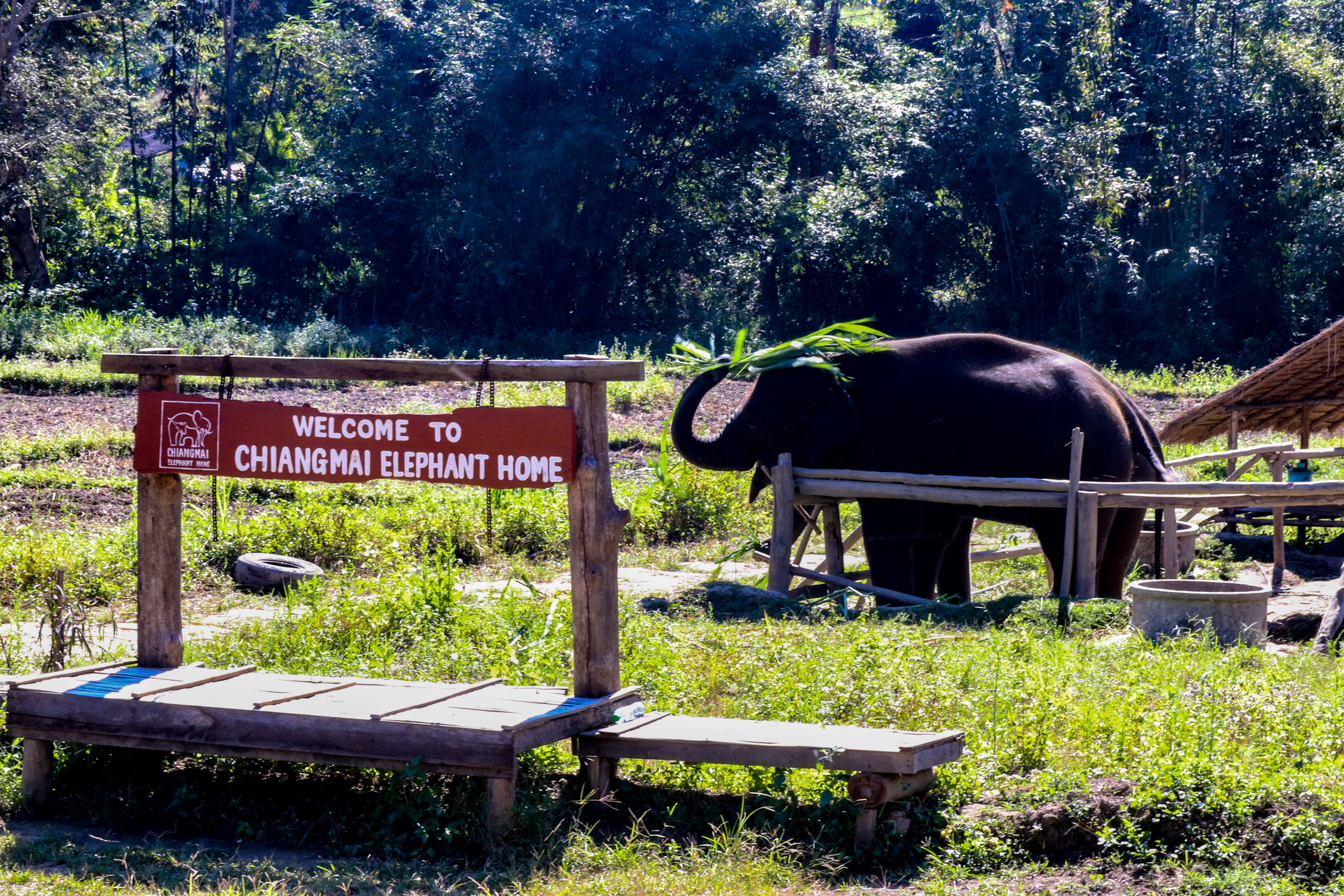 The fence in this photograph looks like an enclosure, but the space is actually open in the opposite direction to the photograph and the elephants are free to roam that way.