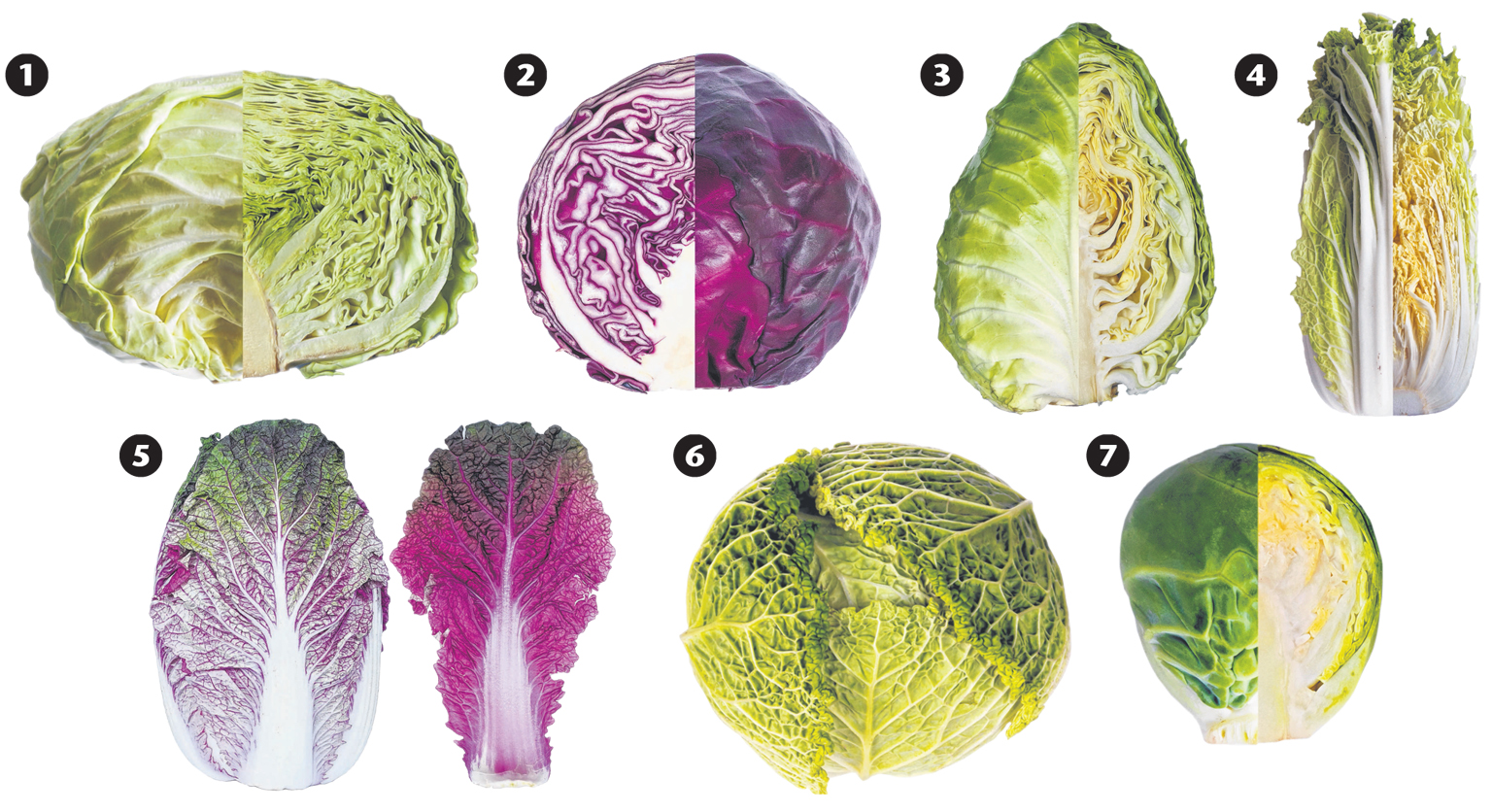 cabbage diagram.jpg