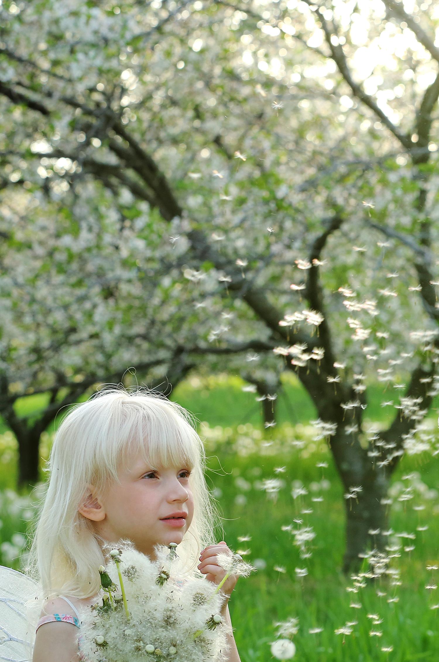 Arcadia, Michigan Cherry blossoms, Spring 2014.