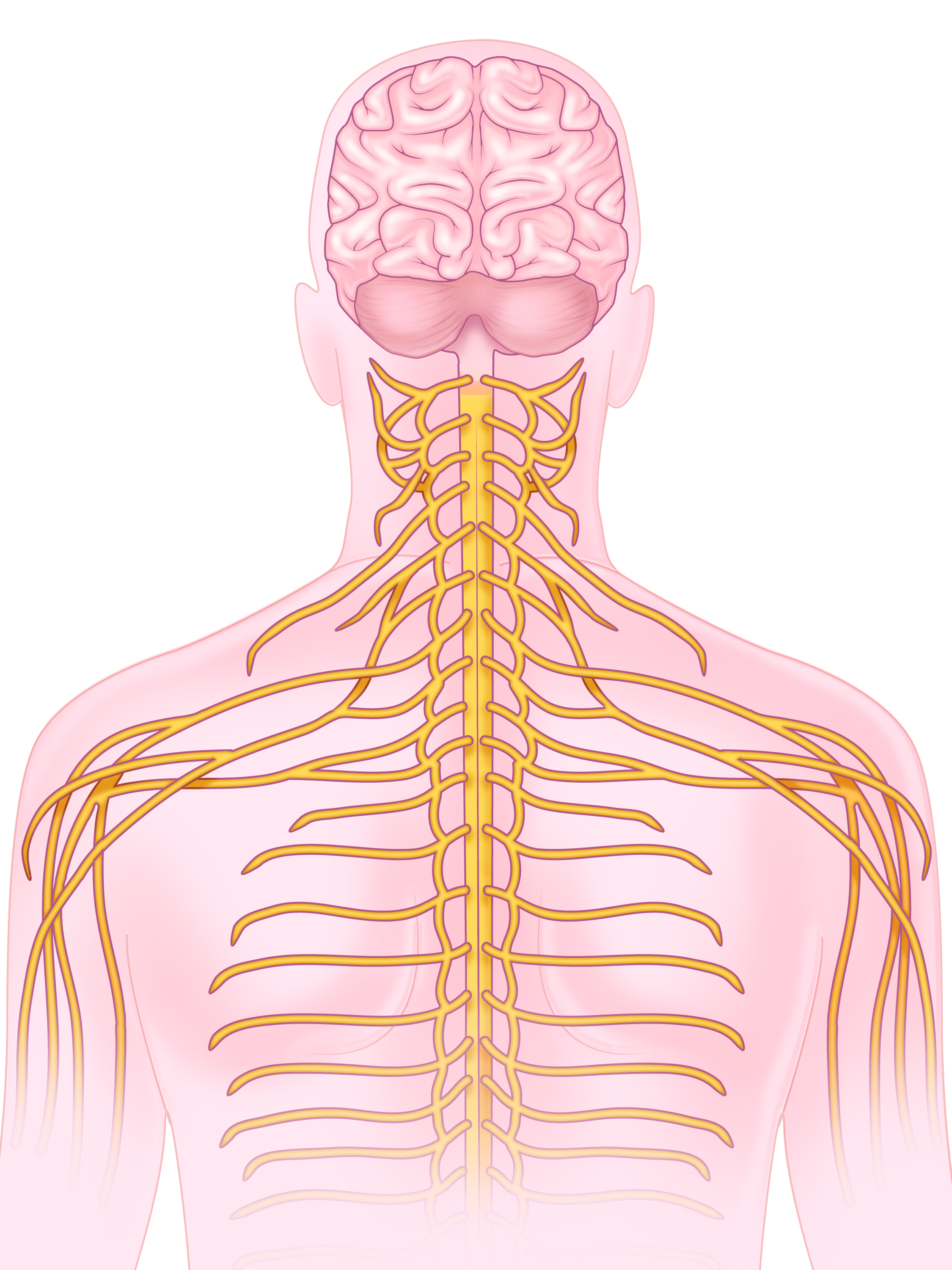 Image created in collaboration with the Division of Anatomical Sciences, Dept. of Surgery at the University of Michigan.