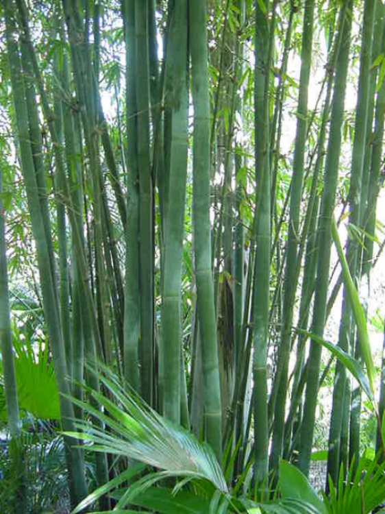 Bambusa textilis 'Maculata'